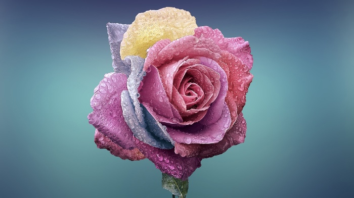 blue background, water drops, plants, flowers, colorful, rose