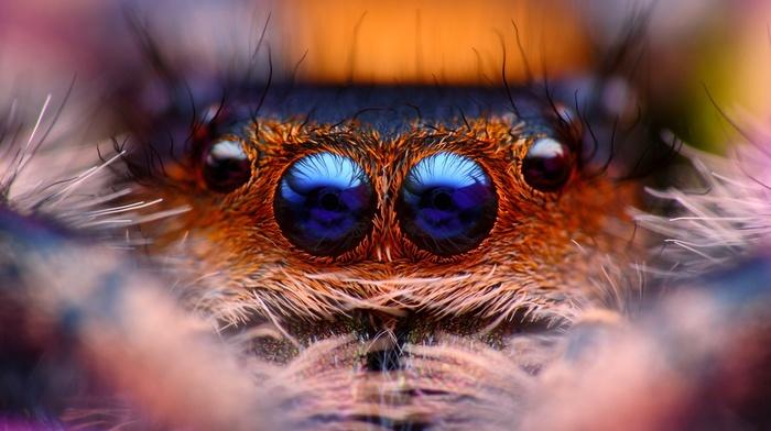 spider, animals, Jumping Spider, macro