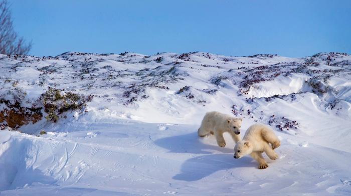 nature, polar bears, winter, snow, playing, animals