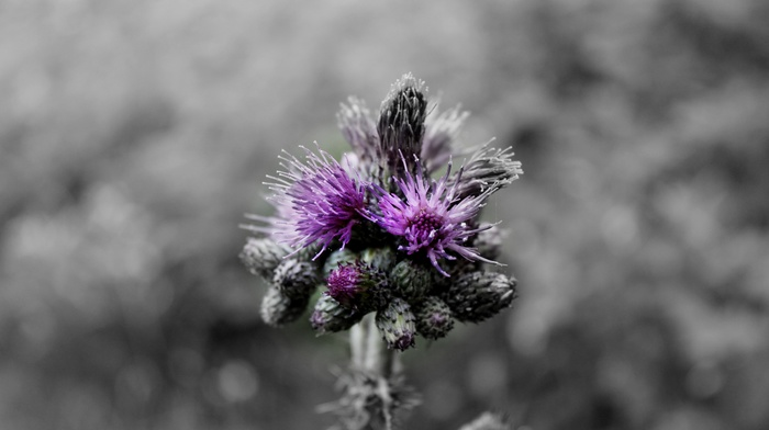 nature, purple, flowers, monochrome, photographer, macro, selective coloring, photography