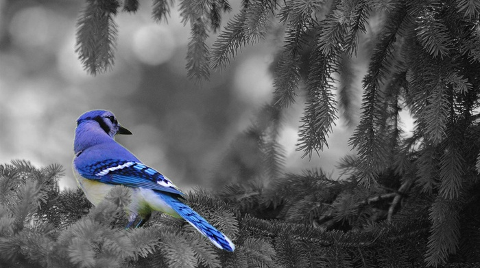 animals, selective coloring, birds, blue jays