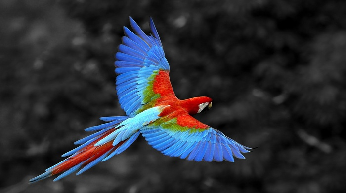 parrot, animals, selective coloring