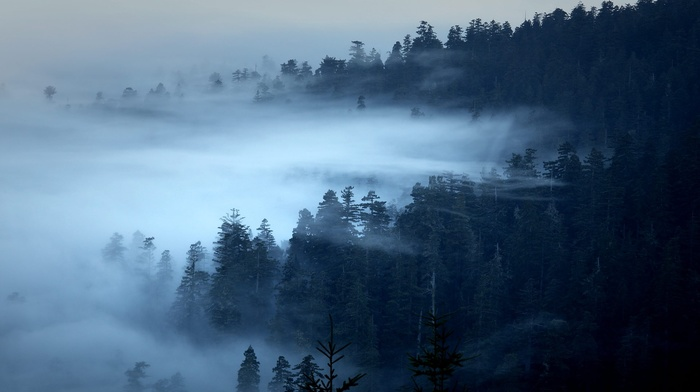 pine trees, landscape, nature, forest, trees, morning, mist