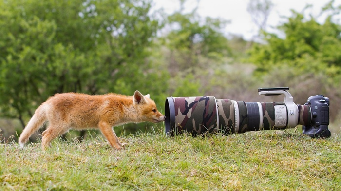 telephoto lens, Canon, camera, fox, landscape, trees, animals, wildlife, baby animals, camouflage, depth of field, nature, lens, grass
