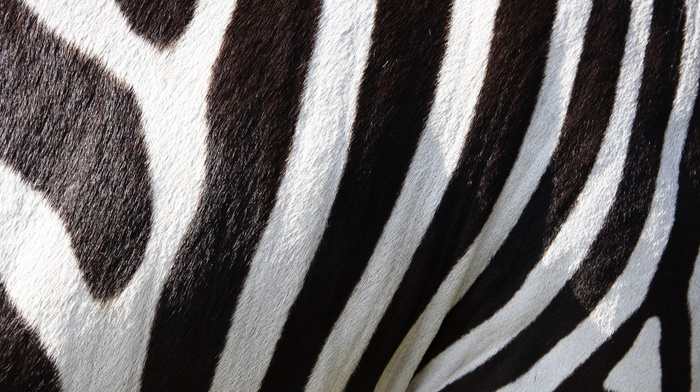 fur, black, stripes, zebras, animals, white, wildlife, nature