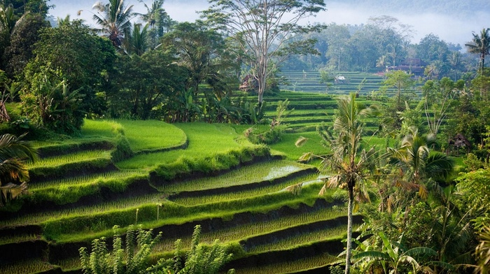 sunlight, Bali, shrubs, morning, hills, rice paddy, palm trees, nature, landscape, terraced field, Indonesia, green, photography