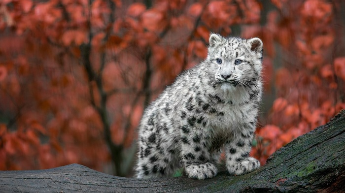 animals, Germany, big cats, baby animals, fall, snow leopards, leopard animal