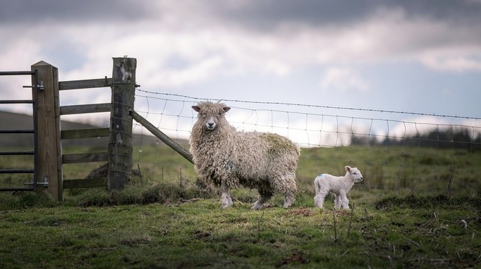 baby animals, sheep, fence, lamb, animals