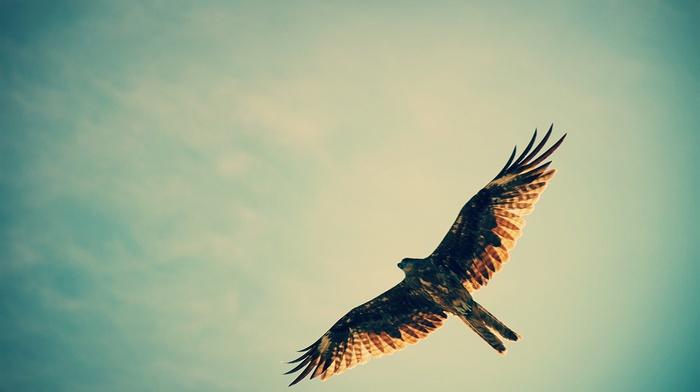 hawk animal, flying, hunting, birds, sky