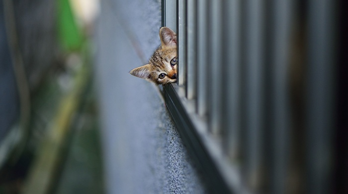 wall, animals, fence, kittens, depth of field, baby animals, cat, head, pet