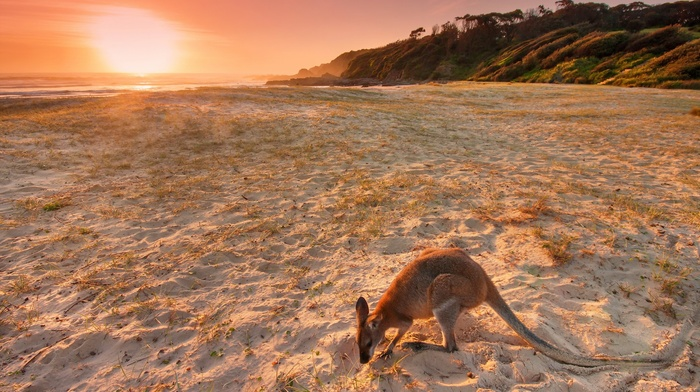kangaroos, animals, sand, landscape, beach, Australia