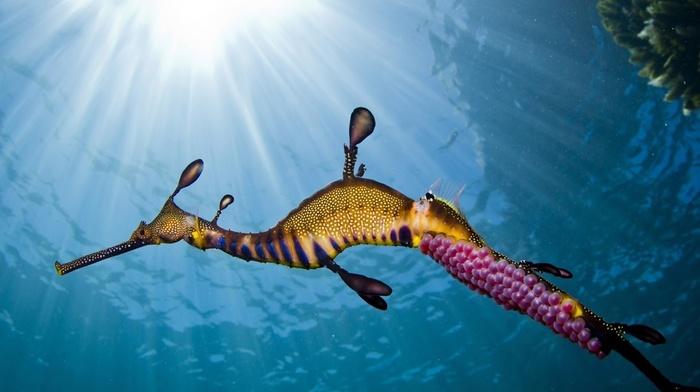 seahorses, animals, underwater, sunlight
