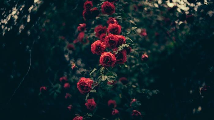 flowers, plants, rose