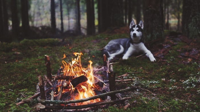 dog, fireplace, siberian husky, animals, fire, nature, forest