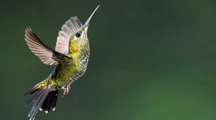 colibri bird, flying, hummingbirds, birds