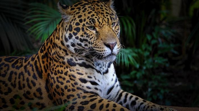 leopard animal, big cats, animals