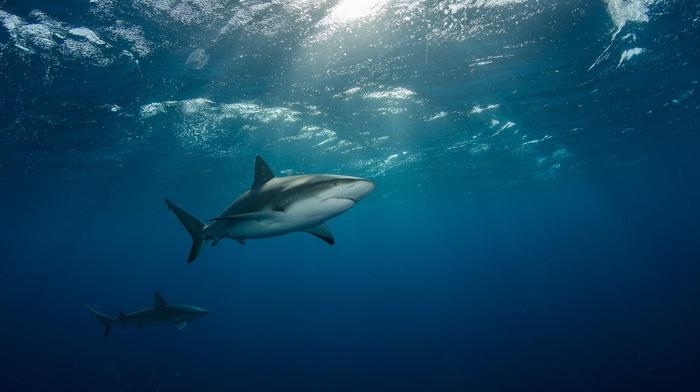 underwater, animals, shark