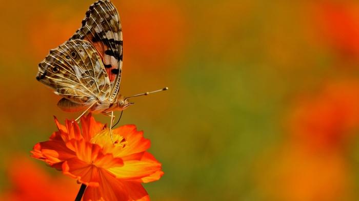 lepidoptera, flowers, macro