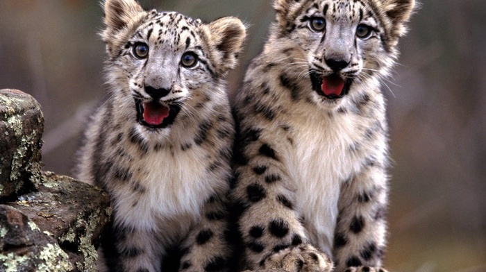 animals, snow leopards, leopard animal, baby animals