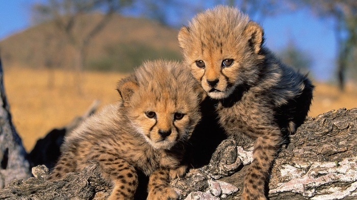 Africa, cheetah, landscape, animals, nature, baby animals, cubs, cheetahs