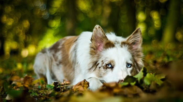 leaves, dog, Border Collie, depth of field, blue eyes, animals