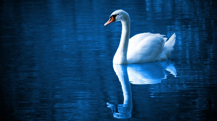 feathers, swan, peaceful, blue, lake, swimming, water, reflection, wildlife, mirror, birds, peace