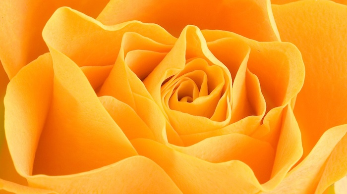 macro, yellow flowers, flowers, rose, petals, closeup