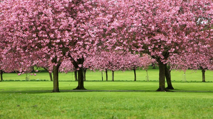 Blossom, trees, landscape, flowers, cherry blossom, cherry trees, pink, spring, green, park, nature, branch, plants, petals