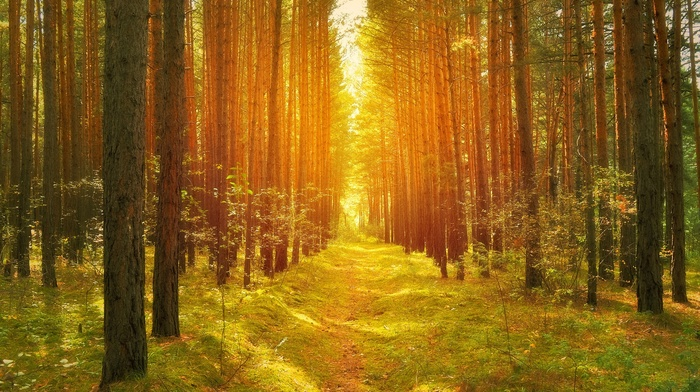 road, bright, twigs, lights, forest, grass, pine trees, path, moss, trees