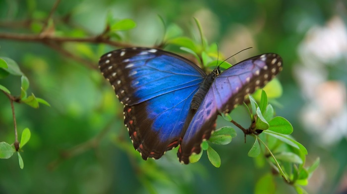 leaves, blue, wings, insect, green, wildlife, animals, colorful, butterfly, macro
