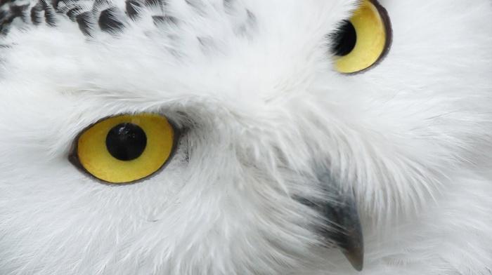 birds, nature, wildlife, portrait, eyes, beak, animals, owl, snowy owl, white, feathers