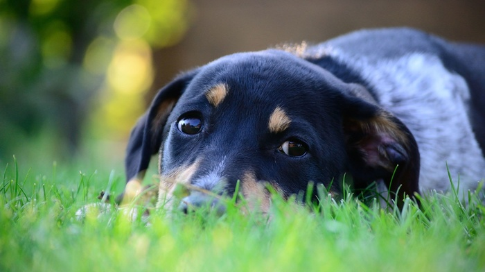 nature, bokeh, dog, grass, animals, depth of field, pet