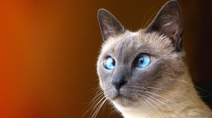 Siamese cats, cat, feline, animals