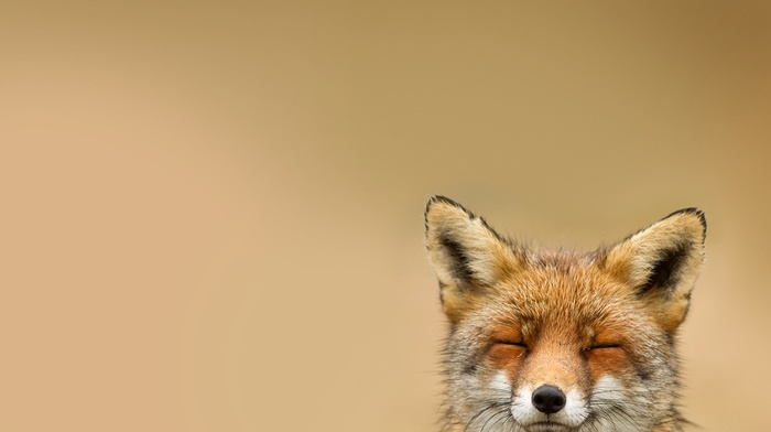 nature, simple background, animals, fox, smiling