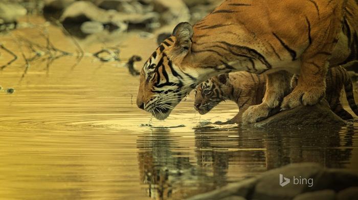 baby animals, water, animals, big cats, tiger