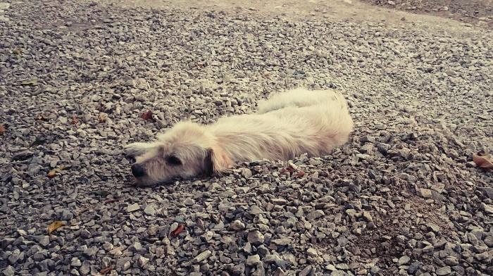 rocky plain, dog