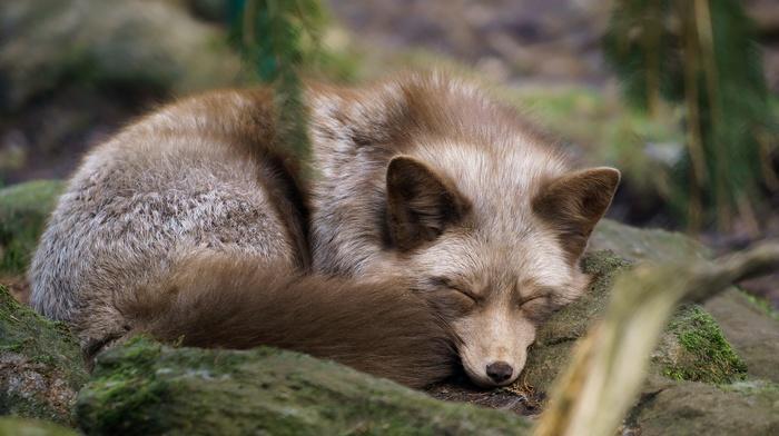 sleeping, fox, animals