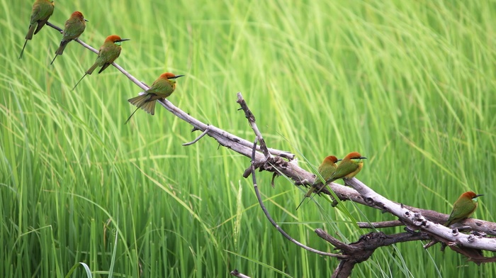 birds, nature, branch, animals, bee, eaters