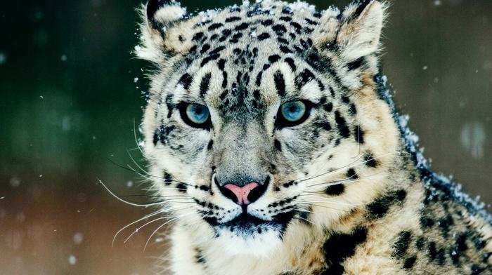 snow, leopard animal, snow leopards, animals