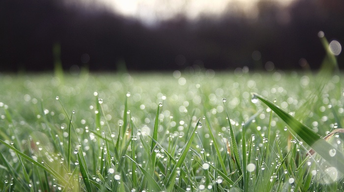 grass, water drops, dew
