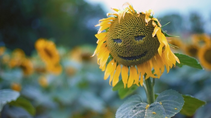 plants, nature, sunflowers, seeds, leaves, smiley, green, macro, closeup, depth of field