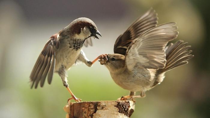 sparrow, blurred, humor, fighting, macro, photography