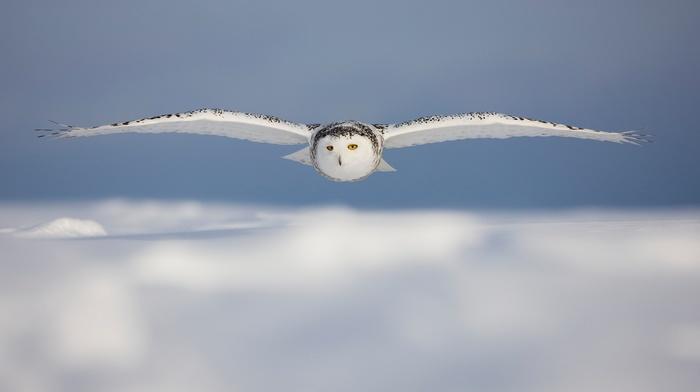 snowy owl, white, owl, macro, photography, blurred