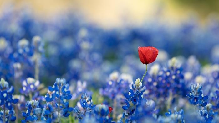 flowers, red flowers, blue, bluebonnets, plants, blue flowers
