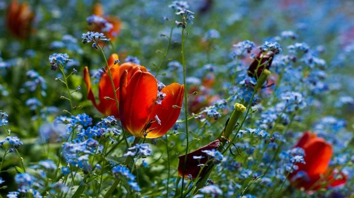 plants, forget, me, nots, flowers, macro, red flowers