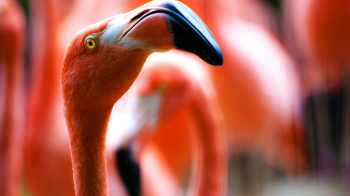 animals, flamingos, red, birds