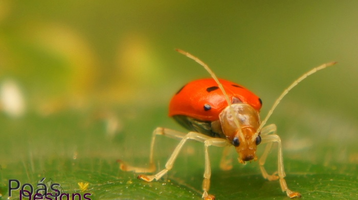 ladybugs, beetles, Jeffrey Umaa, nature, PosDesigns, Costa Rica