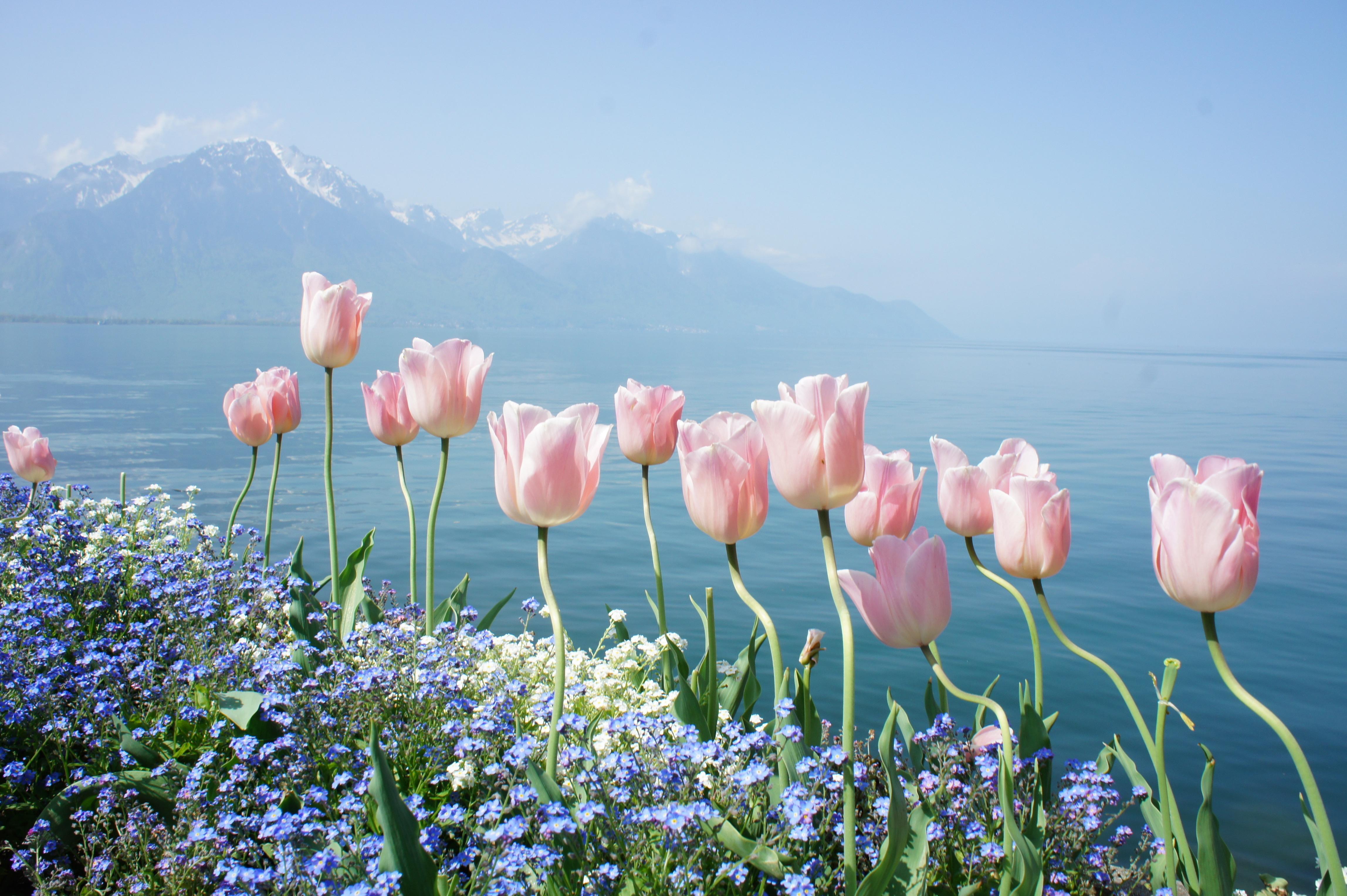 Sky Lake Flowers Spring Tulips Wallpaper 105198 4592x3056px