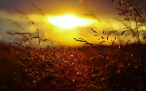 grass, Golden Hour, sunset, nature, summer