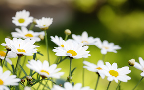flowers, nature, chamomile, summer, petals